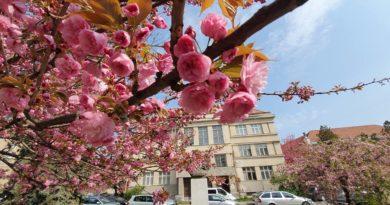 Період цвітіння сакур на Закарпатті: чи будуть святкові заходи під час пандемії. ВІДЕО