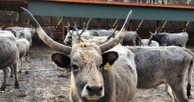 Як на Закарпатті розводять сірих угорських корів і чим вони цікаві