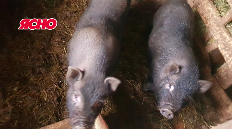 Марточка аж 13-ох  народила. Чому на Закарпатті почали розводити чорних свиней