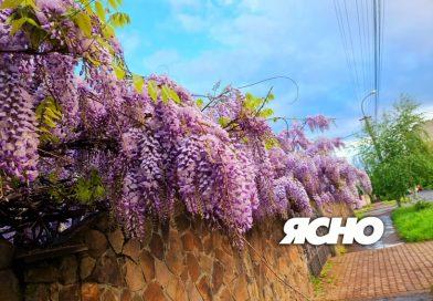 В Ужгороді цвітуть квіти безсмертя . ФОТО