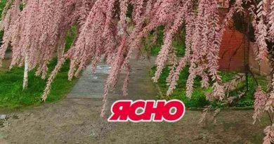 В Ужгороді цвіте тамарикс. ФОТО