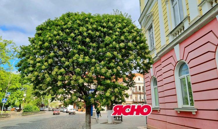 В Ужгороді на Петефі цвіте рідкісне біле дерево