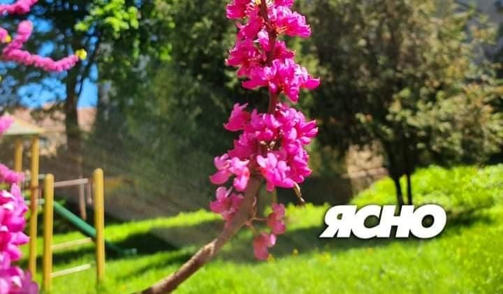 В Ужгороді, у сквері Крупки,  рясно цвіте юдине дерево. ВІДЕО