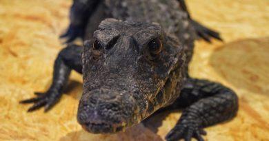 В обласному центрі Закарпаття відтепер можна побачити справжнього живого крокодила