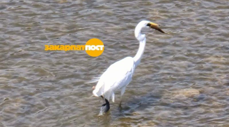 В Ужгороді біла чапля рибалить в Ужі