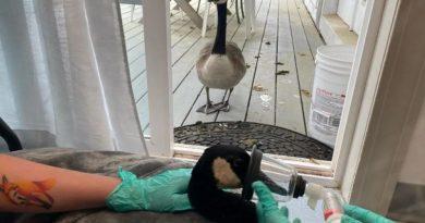 Розумна гуска відшукала коханого гусака, якого забрали на операцію
